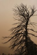 Tree in sandstorm in Mongolia