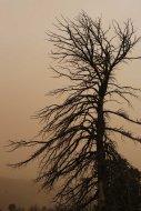 Tree in sandstorm in Mongolia